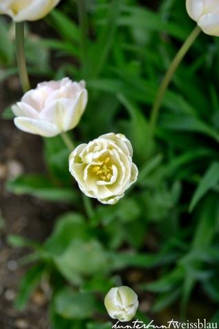 Tulpen V